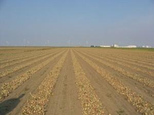 uien liggen op het land na te drogen01