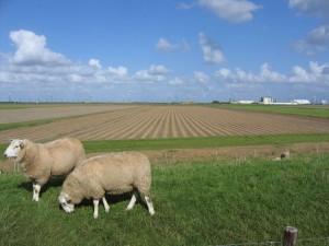 uien liggen op het land na te drogen02